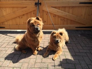 Chow Chows